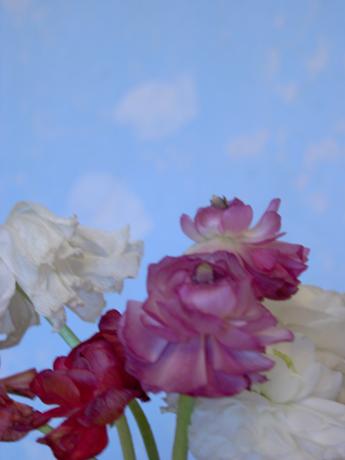 blue ranunculus by Jessica Jones
